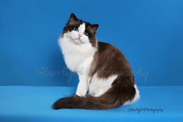 CH Marlcreek One Last Chance Seal Point Bicolor male