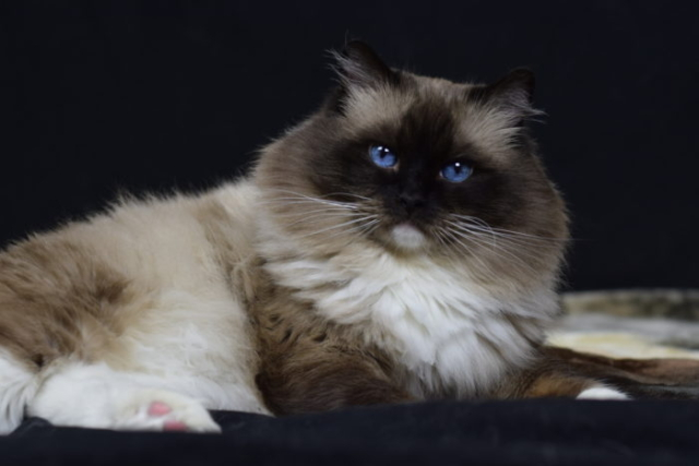 Catbird Tex Seal Point Mitted male