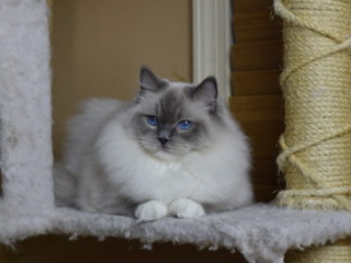 Victoriantresur Gretel Blue Point Mitted female