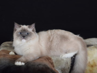 Countrysiderags Lady Marmalade Blue Point Mitted female
