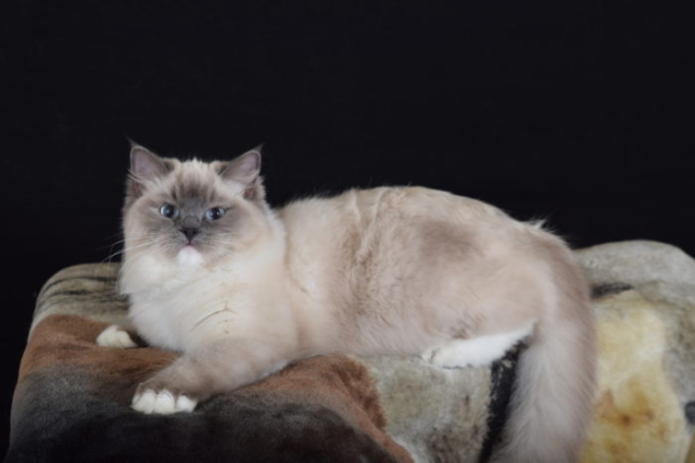 Countrysiderags Lady Marmalade Blue Mitted Ragdoll