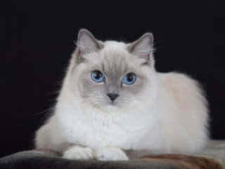 Victoriantresur Ragtacular Blusteel Blue Point Mitted female