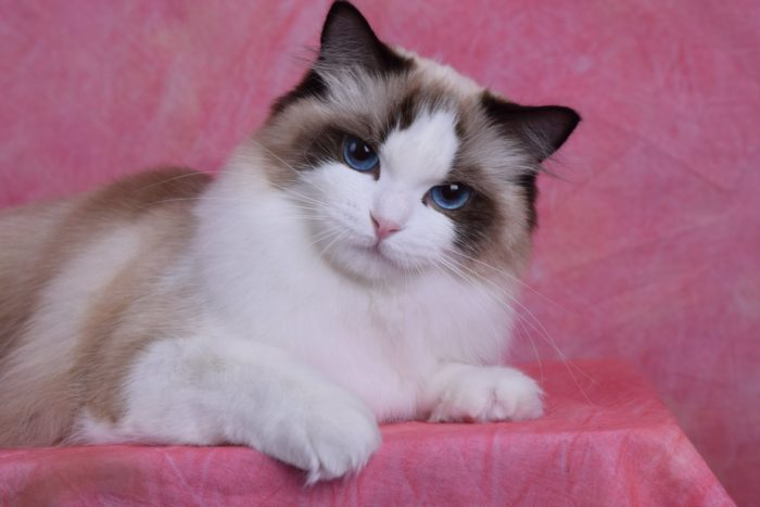 Seal Point Bicolor female Ragdoll