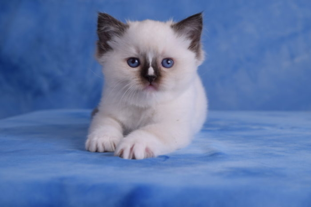 Seal Point Mitted female with a blaze Ragdoll
