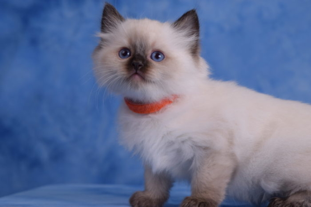 Seal Colorpoint female Ragdoll