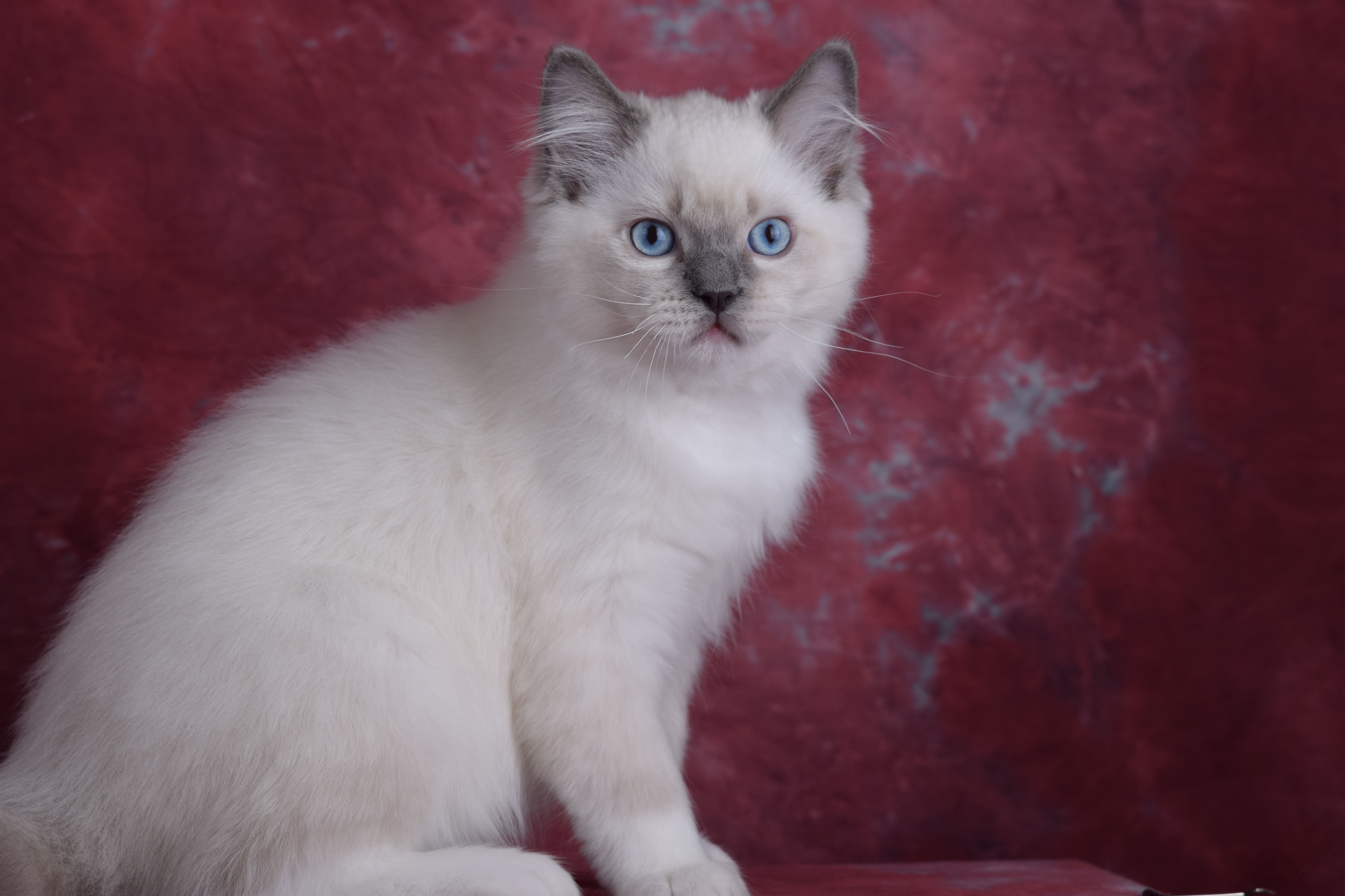 Available Ragdoll Kittens for Sale ID