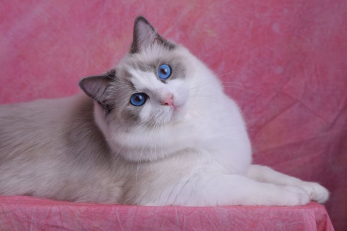 Bellapalazzo Valentina Blue Point Bicolor female Ragdoll