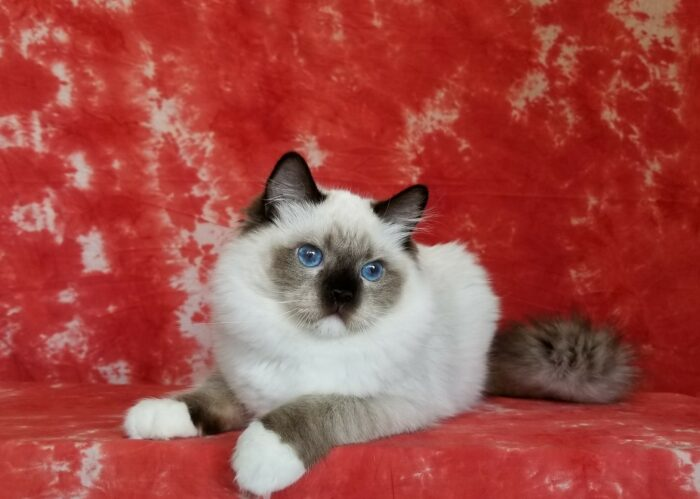 Seal Point Mitted male Ragdoll