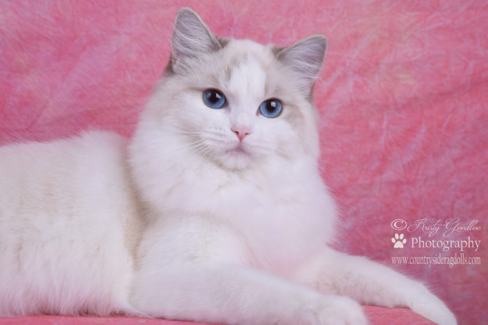 Countrysiderags Mischief Maker Blue Lynx Point Bicolor female Ragdoll
